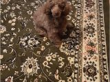 Area Rugs with Dog Designs Comfy for Dog Rugs Design area Rugs