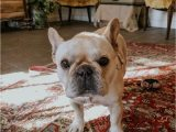 Best area Rugs for Dogs that Pee Best Pet Friendly Rugs In the Market