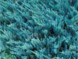 Creeping Juniper Blue Rug Creeping Juniper High Resolution Stock Graphy and
