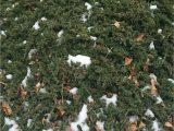 Creeping Juniper Blue Rug Mon Name Blue Rug Creeping Juniper Latin Name Juniperus